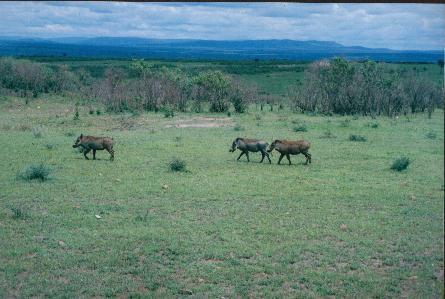 Cela ne respecte pas l'ordre des visites des différent parcs kenyans mais c'est quand même un fabuleux voyage