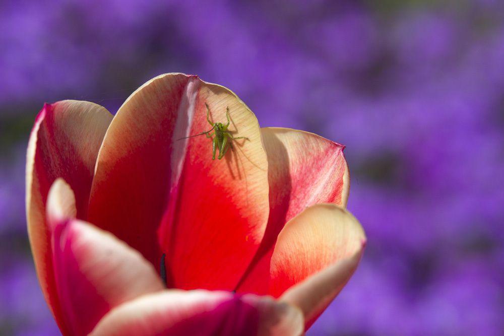 Les-tulipes