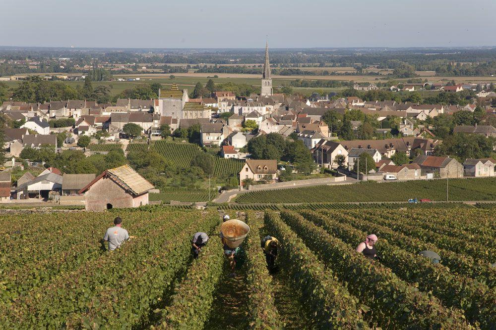 Vendanges à Meursault