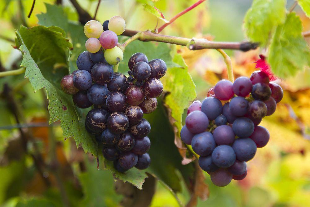 Vignes-en-Beaujolais