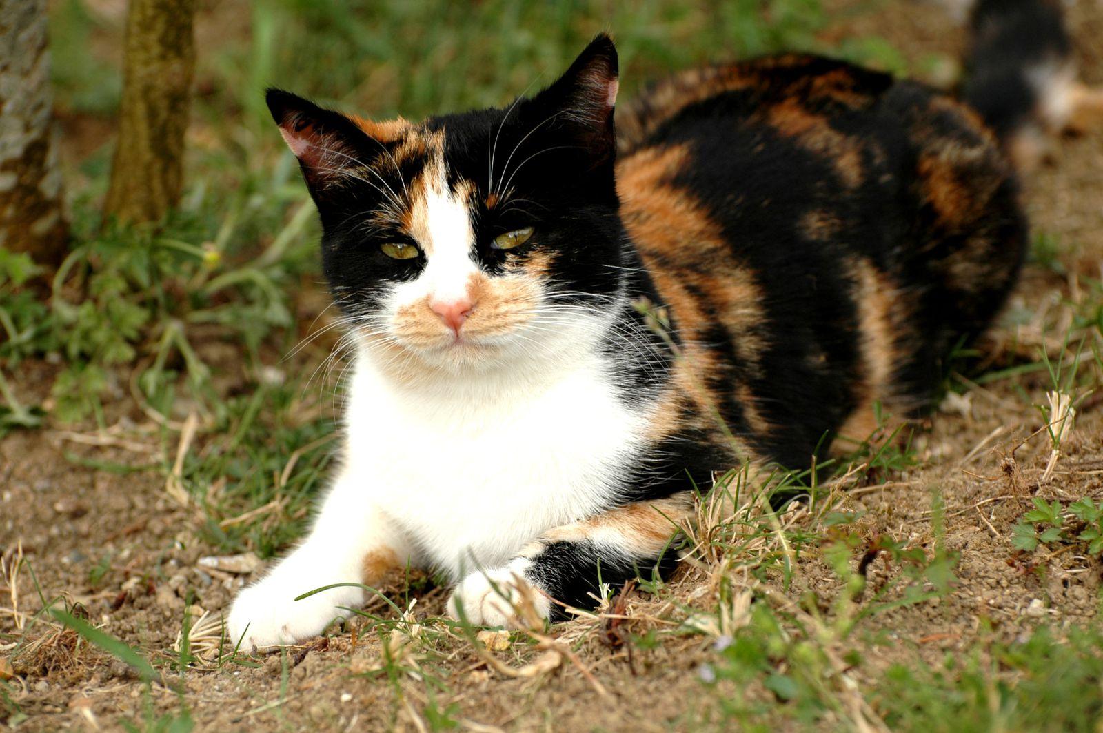 canelle jeune chatte tricolore