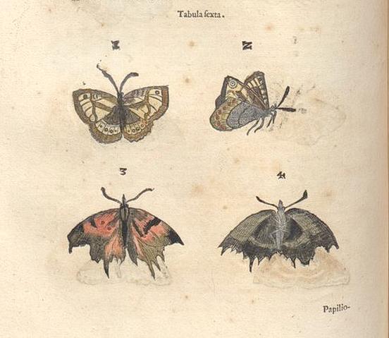 Aldrovandi-papillons-p.244-Planche-6.png