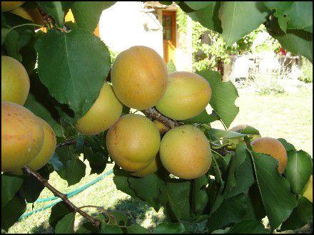 Web Le 5 Juillet 2010 Abricots.Tomates.Lavande.Oli-copie-10