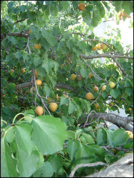 Web Le 5 Juillet 2010 Abricots.Tomates.Lavande.Oli-copie-13