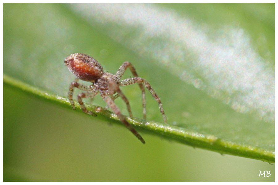 Arachnides 03 Thomise 5016