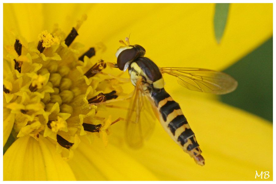 Insectes 03 5294