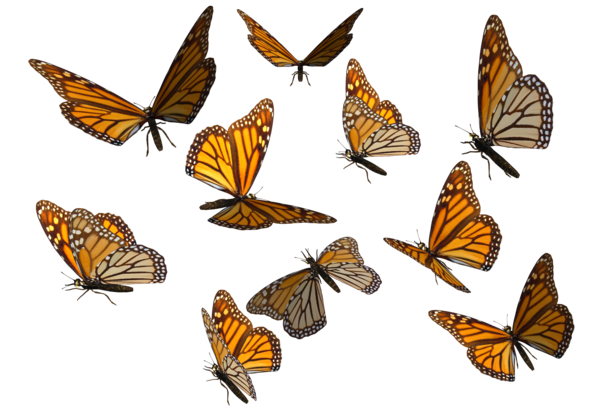 00-monarch_butterfly.png