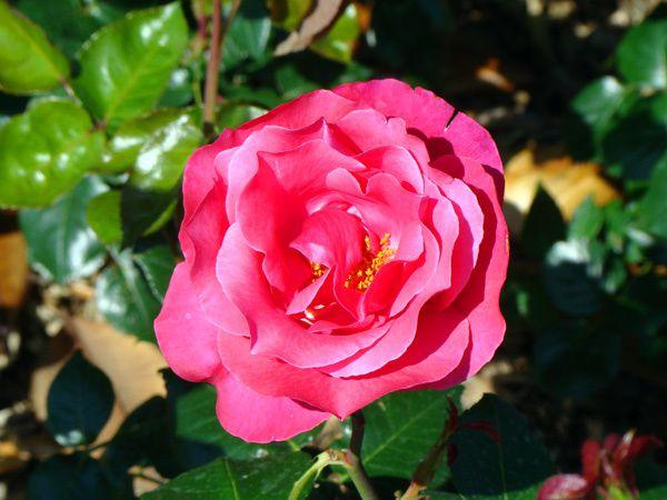 Roses-de-Nice-de couleur rose.jpg