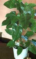 Philodendron-domesticum.PNG