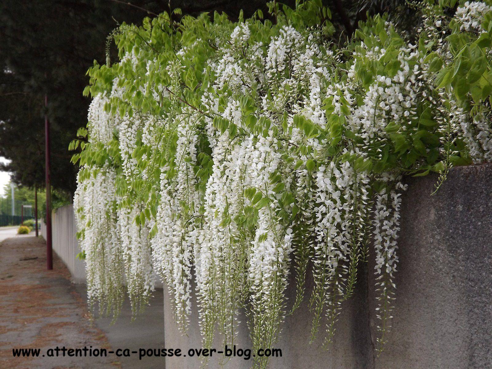 Quel Support Pour Une Glycine glycine (wisteria) - attention ça pousse !