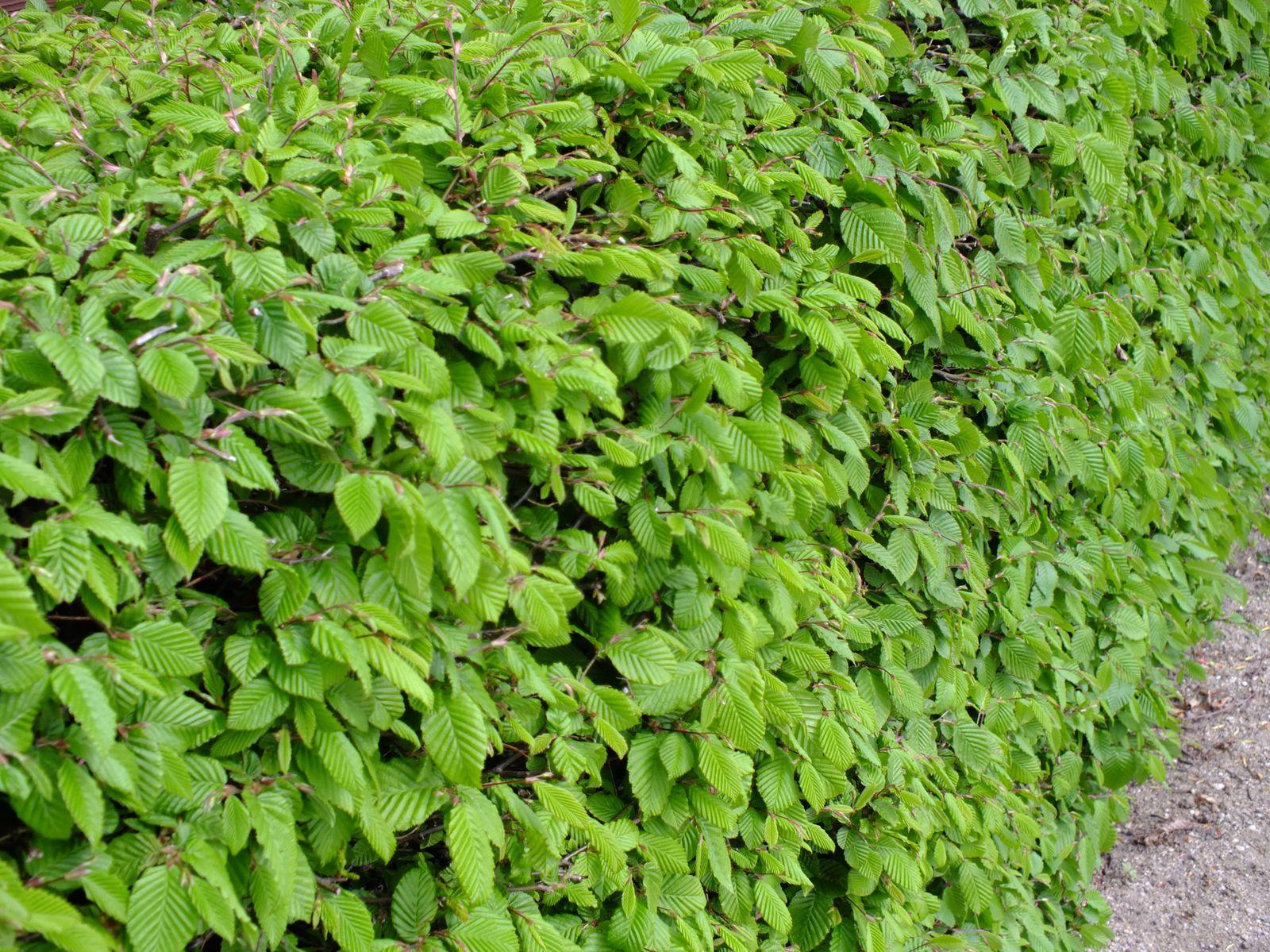 Häufig Pflanzen Tips & Co: Buchenhecke schneiden - Garten & Pflanzen BLOG VT56